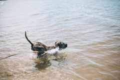 Dog running on the Beach with a Stick. American staffordshire terrier royalty free stock photography