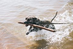 Dog running on the Beach with a Stick. American staffordshire terrier royalty free stock photos