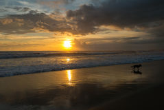 Dog running on the beach during the sunset Chenggu Beach in Bali stock photography