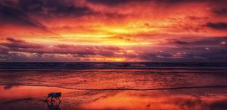 Dog running on beach at sunset stock photos