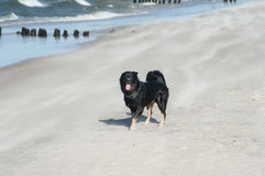 Dog running at beach in Ustka Stock Images