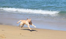 Dog Running on Beach Royalty Free Stock Photography