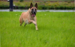 Dog running. Belgian Malinois dog is chasing a thrown away ball Stock Image