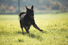Dog running Stock Photography