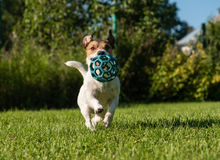 Dog running with blue ball. Jack Russell terrier playing on a summer lawn Stock Photography