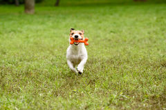 Dog running with bone at teeth. Jack Russell Terrier playing with toy Royalty Free Stock Images