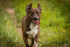 Dog running Royalty Free Stock Photography