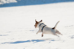 Dog running from camera. Jack Russell Terrier playing on snow field Royalty Free Stock Image