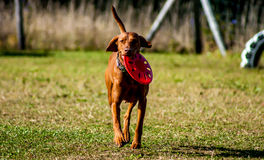 Dog running. Stock Images