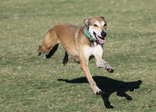 Dog running caught in mid air Royalty Free Stock Images