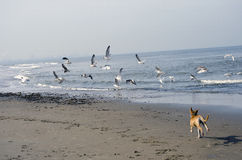 Dog running and chasing seagulls Stock Photos