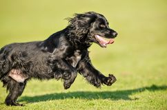 Dog Running. A Cocker Spaniel Dog running Royalty Free Stock Image