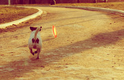 Dog running after colorful plastic disk on a spring road Stock Photography