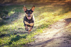 Dog running on country path. Mixed breed brown and black colored dog running along a path emerging from the woods Royalty Free Stock Image