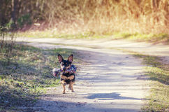 Dog running on country path Royalty Free Stock Image