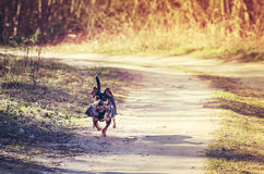 Dog running on country path Stock Images