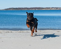 A dog running on a deserted beach Royalty Free Stock Photography