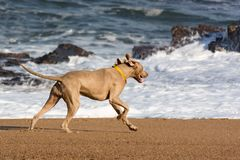 Dog running on deserted beach at sunset stock photo