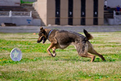 Dog running after the disc ( Frisbee ). At sporting events Stock Images