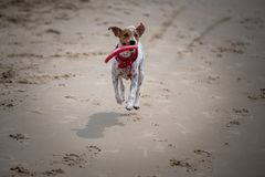 Dog running with disc on the seashore stock photos