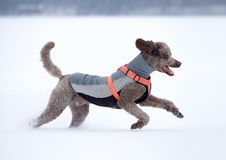 Dog running and enjoying the snow on a beautiful winter day. stock image