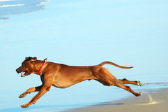 Dog running fast. A beautiful active African male Rhodesian Ridgeback hound dog running fast on the beach Stock Photography