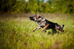 Dog running on the field Stock Photo
