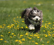 A dog running in a field. A havanese dog is running in a green grass field of dandelions royalty free stock photos