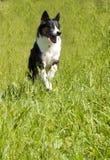 Dog Running Through Field. Heeler Mix Dog Running Through Green Grass Stock Photography