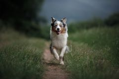 He dog is running in the field. Australian Shepherd in nature . Active Pet for a walk. He dog is running in the field. Australian Shepherd in nature in the park stock photo