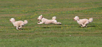 Dog running in a field Royalty Free Stock Photography