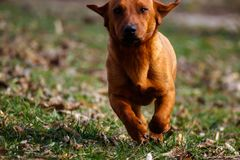 Dog running in the field of grass, dog caught in action stock photos