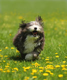A dog running in a field. A havanese dog is running in a green grass field of dandelions Stock Photo