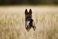 Dog Running through field Royalty Free Stock Photography