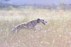 Dog running through field. Whippet dog running happily through long grass Stock Photos