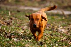 Dog running in the field stock photography
