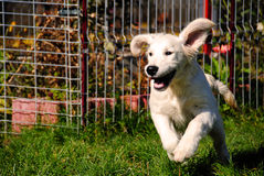 Dog running with floppy ears - Golden Retriever Royalty Free Stock Photography