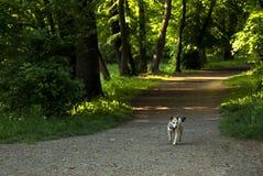 Dog running on foot path Stock Photos