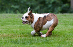 Dog running Royalty Free Stock Photos