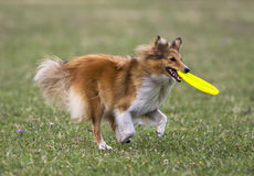 Dog running with frizbee Royalty Free Stock Photography