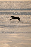 Dog Running on Frozen Lake Royalty Free Stock Image