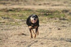 Dog running full speed Stock Images