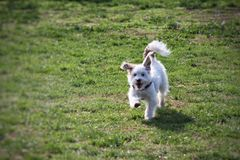 Dog running in a grass green meadow Stock Photo