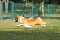 Dog running on the grassland Stock Images