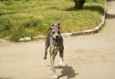 Dog running on the gray asphalt road Royalty Free Stock Images