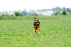 Dog running on the green grass Stock Images