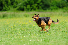 Dog running on the green grass Stock Photography