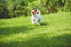 Dog running on green grass fetching toy bone Royalty Free Stock Photos