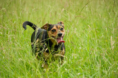 Dog running through a green meadow. Stock Photography