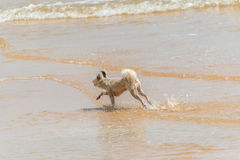 Dog running happy fun on beach when travel at sea. Dog so cute beige color mixed breed with Shih-Tzu; Pomeranian and Poodle running on beach with happy fun when Royalty Free Stock Images